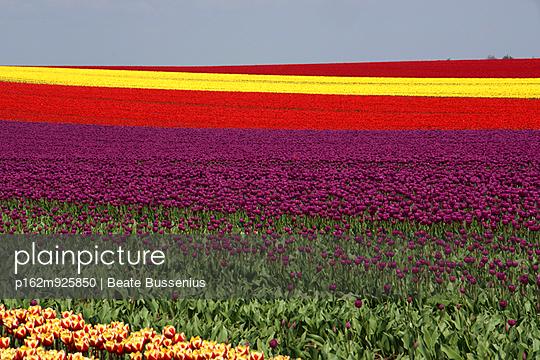 Tulpenfeld im Frühling - p162m925850 von Beate Bussenius