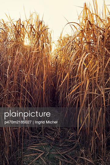 Path in the reeds - p470m2185027 by Ingrid Michel
