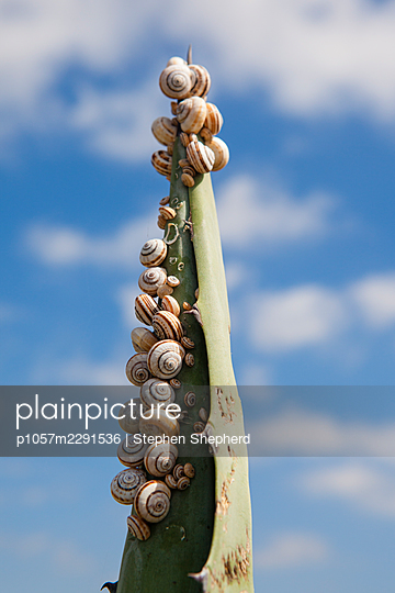 A community of snails sheltering from the sun on a large Agave spike in Spain. - p1057m2291536 by Stephen Shepherd