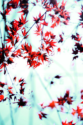 Japanese maple - p450m2184472 by Hanka Steidle