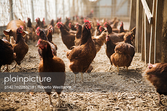 Chickens on farm - p1427m2283218 by Roberto Westbrook