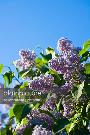 Purple flowers with leaves against blue sky