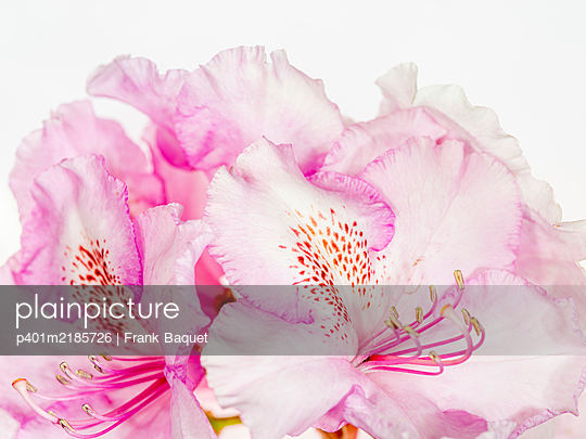 Rhododendron bloom - p401m2185726 by Frank Baquet