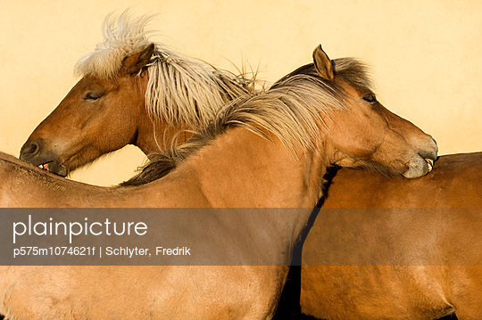 Two horses scratching each other