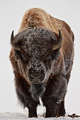 Bison (Bison bison) bull covered with frost in the winter, Yellowstone National Park, Wyoming, United States of America, North America - p871m975938f by James Hager