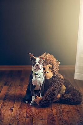 Stuffed monkey toy hugging Boston Terrier dog - p924m1135984f by Rebecca Nelson