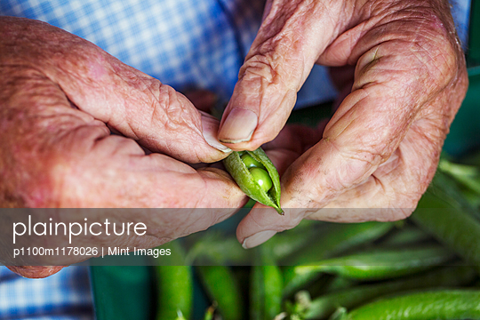 A man opening a peapod to see the fresh peas growing inside it  - p1100m1178026 by Mint Images
