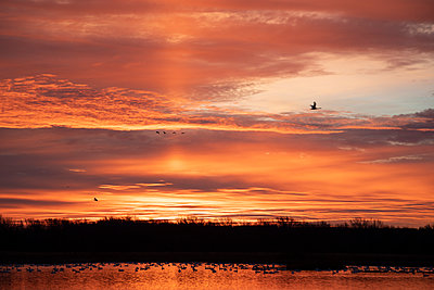 Tundra Swans backlight by the orange sunrise - p1480m2148209 by Brian W. Downs