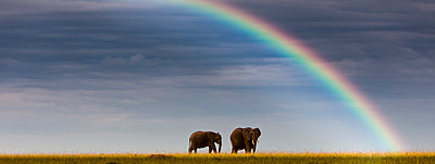 Kenya, View of African elephants in Masai Mara National Park - p300m827031f by Martin Moxter