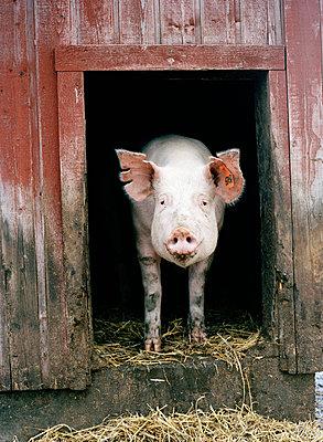 Schweinestall - p31213455f von Elliot Elliot
