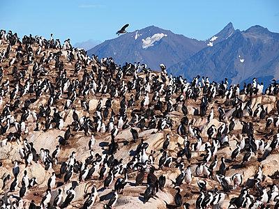Cormorant colony in Tierra del Fuego - p338m1355491 by Marion Beckhäuser