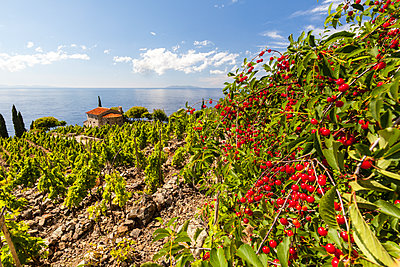 Red berries in cultivated fields, Pomonte, Marciana, Elba Island, Livorno Province, Tuscany, Italy, Europe - p871m1533910 by Roberto Moiola