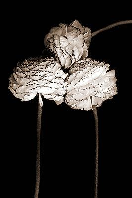 Ranunculaceae - p977m955840 by Sandrine Pic