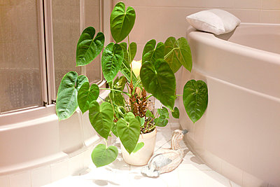 Green plant in the bathroom - p978m658356 by Petra Herbert