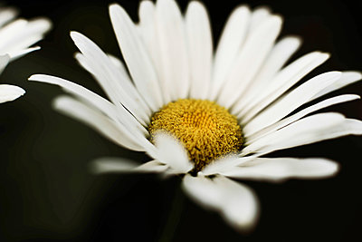 Closeup on white chamomile flower on black background. - p1166m2106377 by Cavan Images