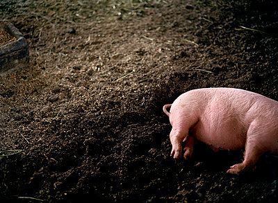 Pig - p1415m2076750 by Sophie Barbasch