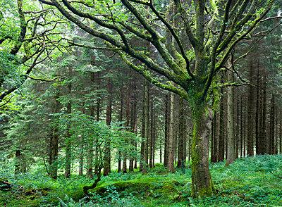 Woodland scene at Blaen-y-Glyn, Brecon Beacons National Park, Powys, Wales, United Kingdom, Europe - p871m711385 by Adam Burton