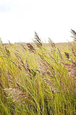 Gräser auf der Düne - p382m2053115 von Anna Matzen