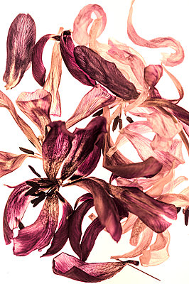 Dried tulip flowers - p401m1222572 by Frank Baquet