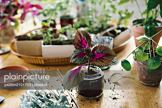 Plant in jar on table at home - p426m2101753 by Maskot