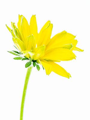 Rudbeckia Blossom - p401m2224602 by Frank Baquet
