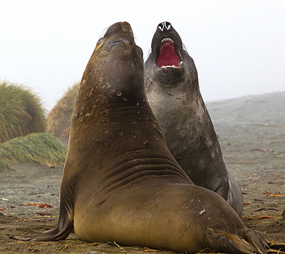 Elephant Seals fight on the beach, north east side of Macquarie Island, Southern Ocean - p429m824506 by Brett Phibbs