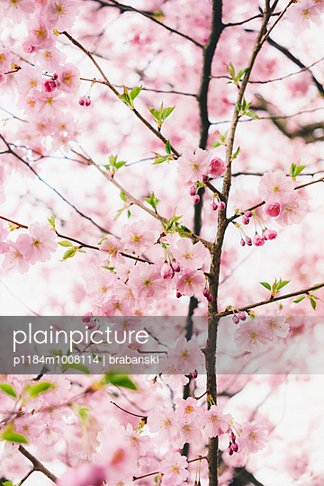 Almond blossoms - p1184m1008114 by brabanski