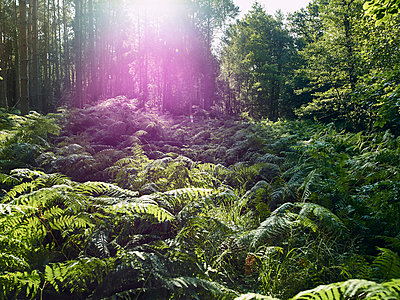 Fern on a clearing in forest - p1200m1131746 by Carsten Görling