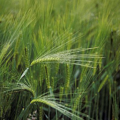 Getreide nach Regen - p2200149 von Kai Jabs