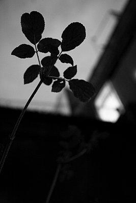 dunkle blaetter vor hausfassade - p6270046 von bobsairport