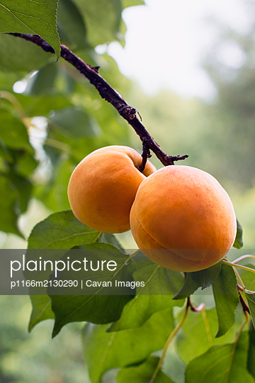 Apricots ripen on the branch in orchard - p1166m2130290 by Cavan Images