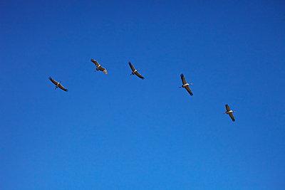 Fünf fliegende Kraniche - p235m1215171 von KuS
