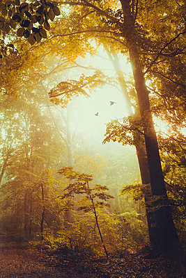 Deciduous forest in autumn, early-morning haze and flying birds - p300m1165974 by Dirk Wüstenhagen