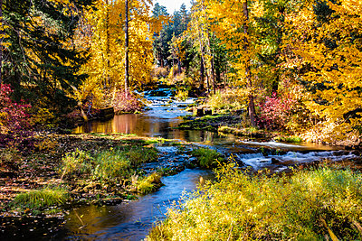 Vibrant autumn coloured foliage along Trout Lake Creek, Mount Adams Recreation Area; Washington, United States of America - p442m2058080 by Doug Ogden
