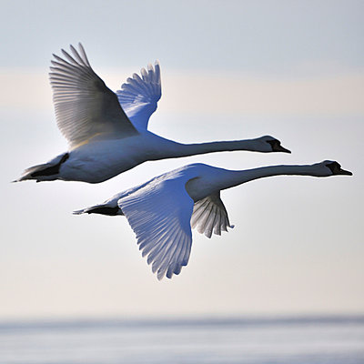 Two swans mid flight - p575m664138 by Mikael Svensson