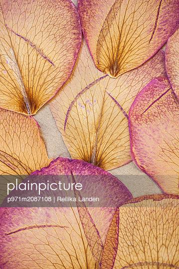 Rose petals - p971m2087108 by Reilika Landen