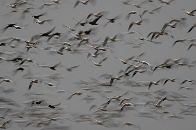Large flock of Snow Geese flying together - p1480m2148252 by Brian W. Downs