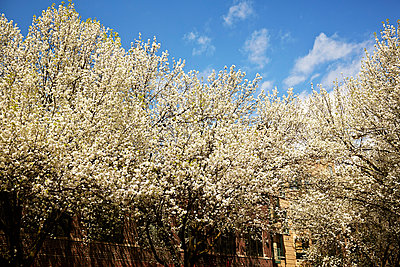 Blossoming trees - p584m960125 by ballyscanlon