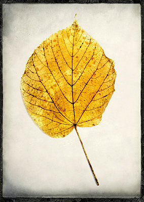 One leaf in studio - p813m1016172 by B.Jaubert