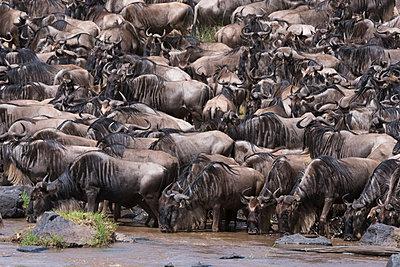 Eastern white-bearded wildebeest (Connochaetes taurinus), on the Mara River bank, Masai Mara, Kenya, East Africa, Africa - p871m1480345 by Sergio Pitamitz