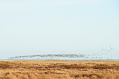 Migratory birds over salt marshes at Spiekeroog - p1203m1582523 by Bernd Schumacher