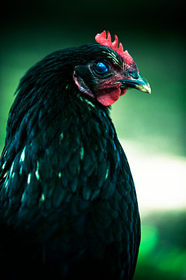 Black rooster close-up - p972m1160337 by Ewa-Marie Rundquist