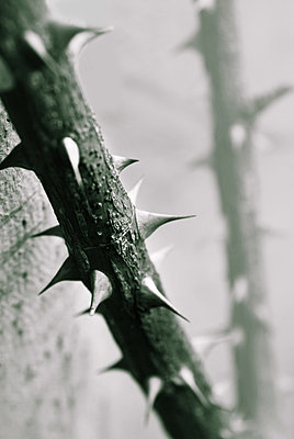 Rose thorns - p1038m2087595 by BlueHouseProject