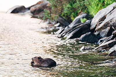 Beaver at Chandos Lake - p1065m982640 by KNSY Bande