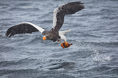 Steller's Sea Eagle, Haliaeetus pelagicus, hunting above water in winter. - p1100m1520128 by Mint Images