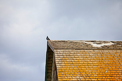 Pigeon on an old barn roof with rotting shakes; St. Albert, Alberta, Canada - p442m936866f by LJM Photo