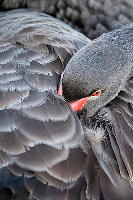 Black swan - p7390543 by Baertels
