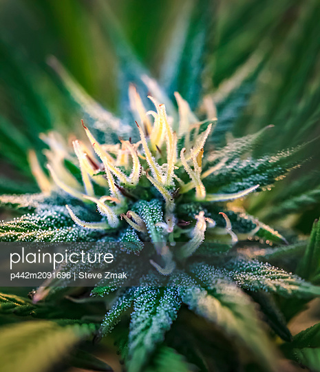 Close-up of a maturing cannabis plant and flower with visible trichomes; Marina, California, United States of America - p442m2091696 by Steve Zmak