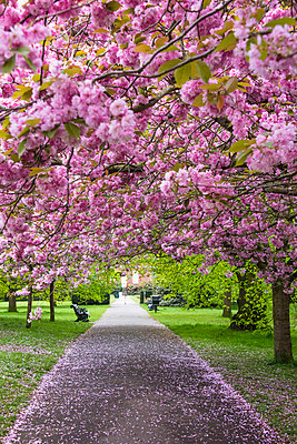 Cherry blossoms in Greenwich Park, London, England - p651m2032896 by Nadia Isakova photography