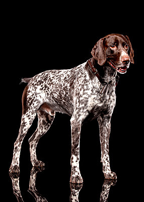 German Shorthaired Pointer - p803m2270214 by Thomas Balzer